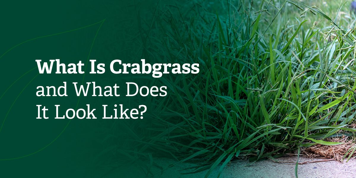 What is crabgrass and what does it look like?