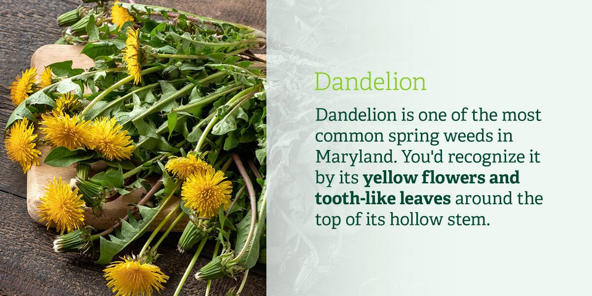 Dandelion is one of the most common spring weeds in Maryland. You'd recognize it by its yellow flowers and tooth-like leaves around the top of its hollow stem.