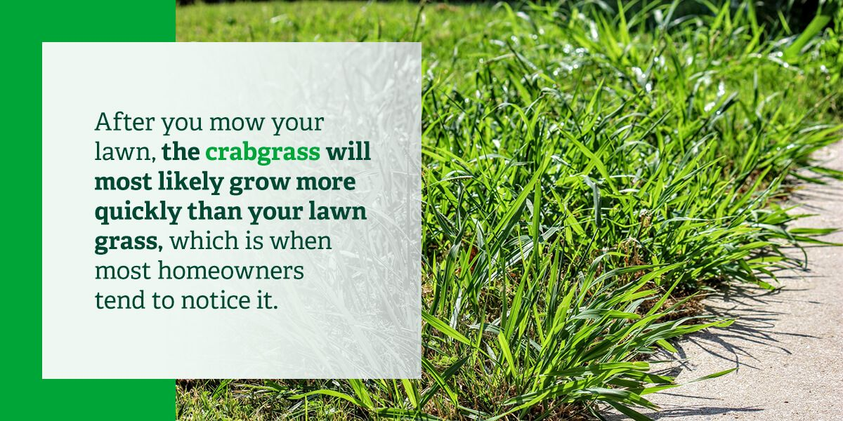Crabgrass will grow more quickly than your lawn grass.