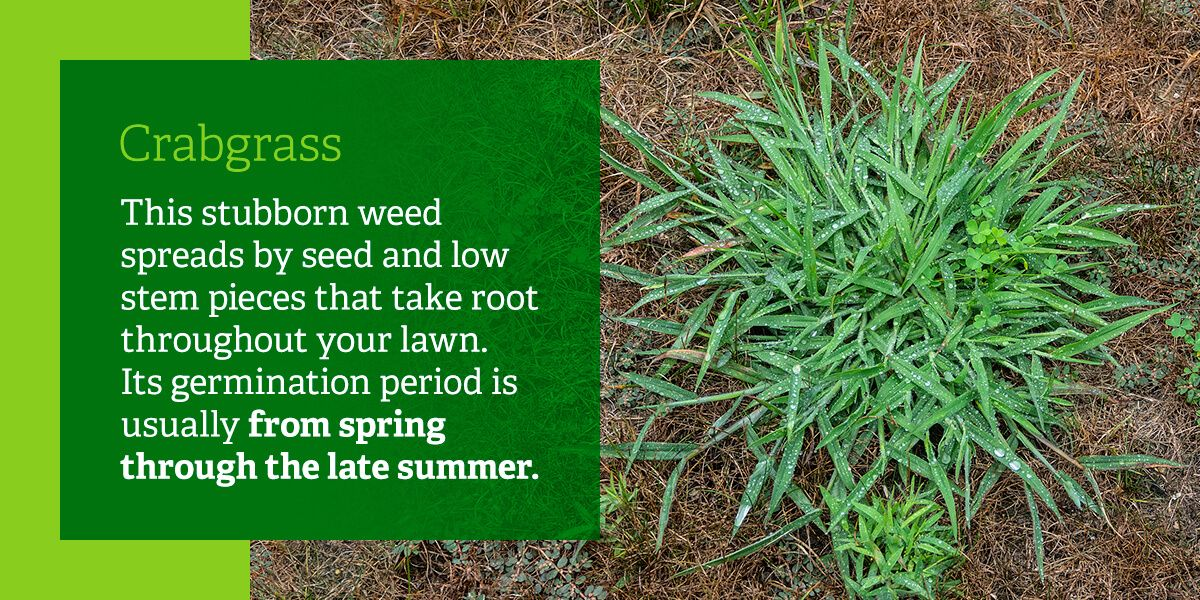 This stubborn weed spreads by seed and low stem pieces that take root throughout your lawn. Its germination period is usually from spring through the late summer.