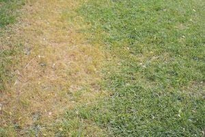 Dead grass.