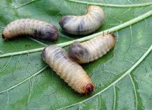 Several white grubs on a leave.