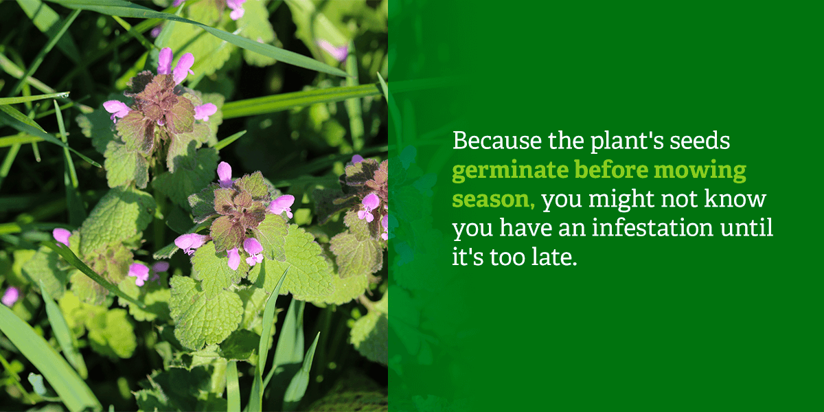 Because the plant's seeds germinate before mowing season, you might not know you have an infestation until it's too late.