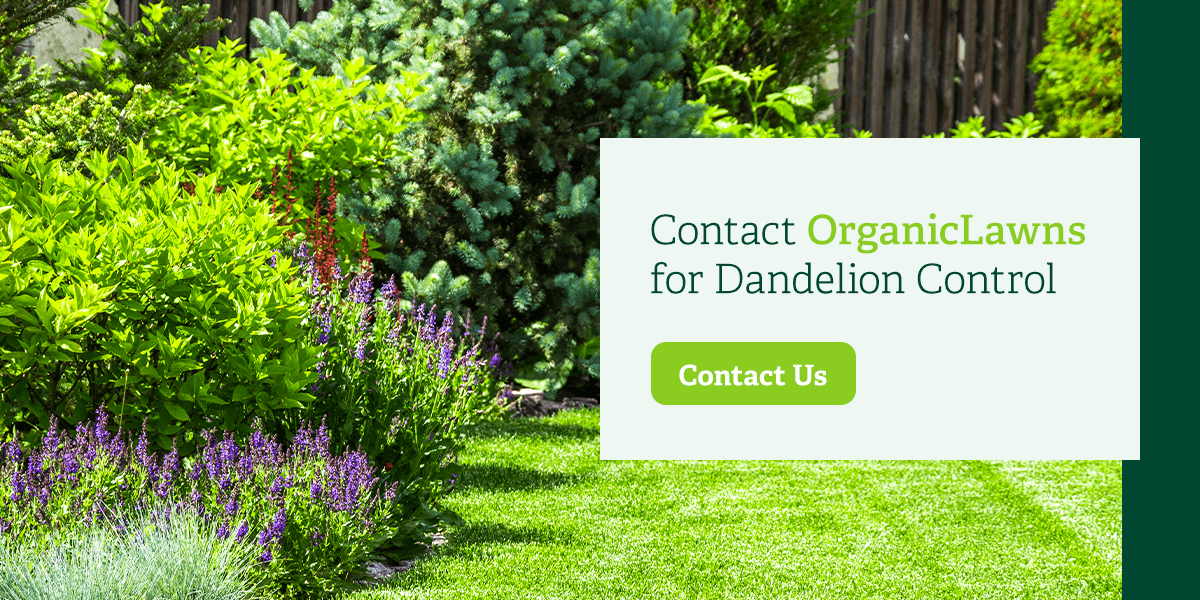 Contact Organic Lawns for dandelion control.