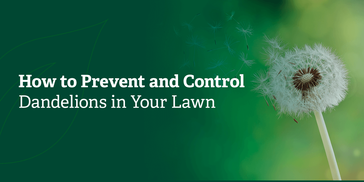 How to prevent and control dandelions in your lawn.