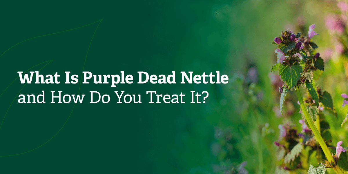What is Purple Dead Nettle and how do you treat it?